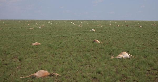 120,000 rare Kazakhstan antelopes dead