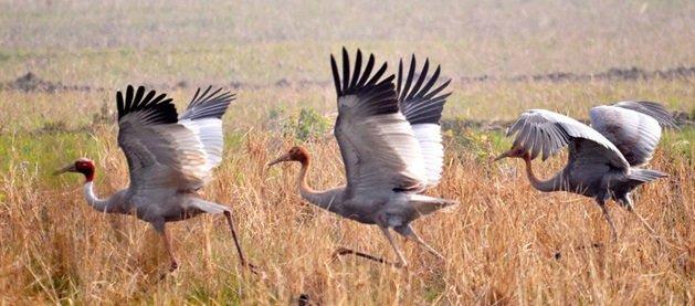Pong Dam Lake birds