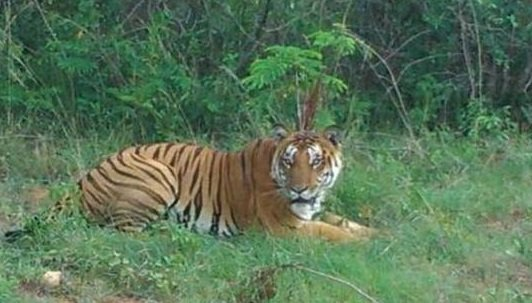 Tiger spotted on the outskirts of Bengaluru city