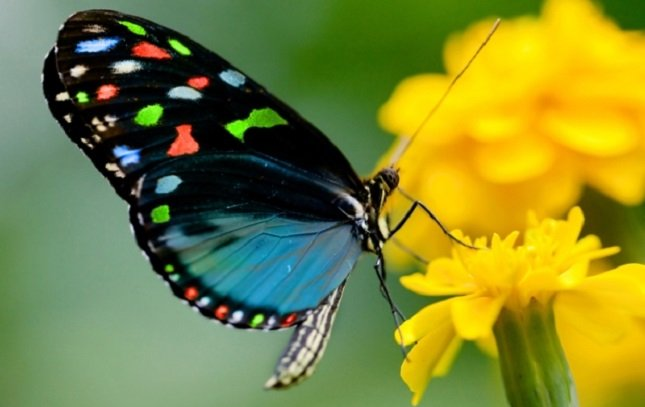 butterfly species Banded Tit found in forests of Arunachal