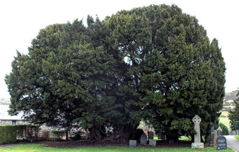 Chinese Yew tree discovered in Central China