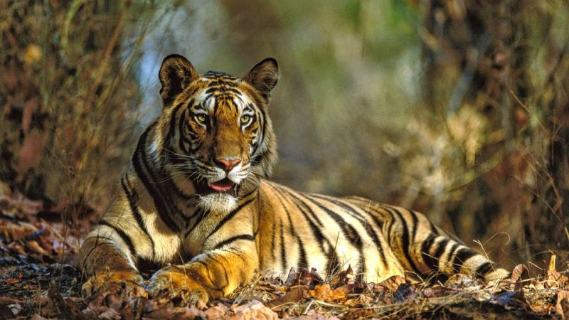 India witnesses 30% growth in number of tigers since 2010